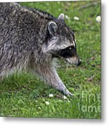 Common Raccoon Metal Print