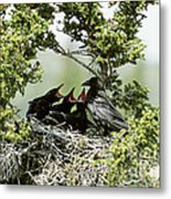 Common Raven Feeding Young In Nest Metal Print