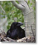 Common Raven Incubating Eggs In Nest Metal Print
