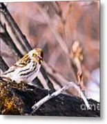 Common Redpoll Female Metal Print by Chris Heitstuman