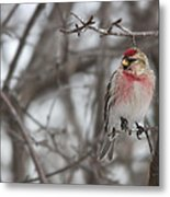 Common Redpoll - Sizerin Flamme - Acanthis Flammea Metal Print