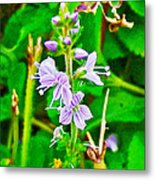 Common Speedwell On Skyline Trail In Cape Breton Highlands National Park-nova Scotia  Metal Print