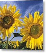 Common Sunflower Field Metal Print