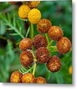 Common Tansy At The End Of Life Metal Print