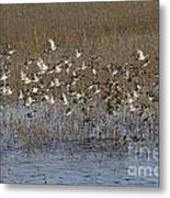 Common Teal Anas Crecca Metal Print