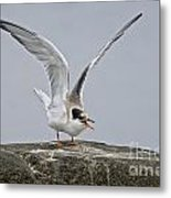 Common Tern Pictures 34 Metal Print