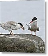 Common Tern Pictures 39 Metal Print