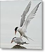 Common Tern Pictures 40 Metal Print