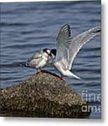 Common Tern Pictures 48 Metal Print