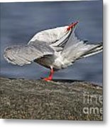 Common Tern Pictures 51 Metal Print