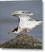 Common Tern Pictures 67 Metal Print