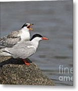 Common Tern Pictures 76 Metal Print