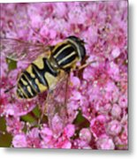 Common Tiger Hoverfly Metal Print