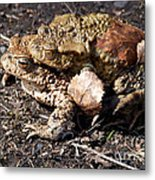 Common Toads Metal Print