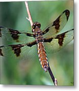 Common White-tail Dragonfly Metal Print