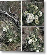 Common Yarrow Collage Metal Print