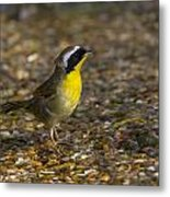Common Yellowthroat Metal Print