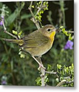 Common Yellowthroat Hen Metal Print