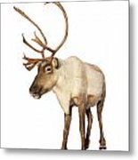 Complete Caribou Reindeer Isolated Metal Print