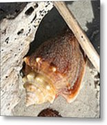 Conchs With Driftwood I Metal Print