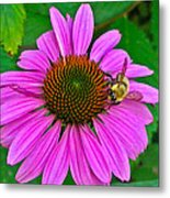 Cone Flower An Bumble  Metal Print