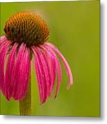 Coneflower - Summer Color Metal Print