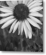 Coneflower And Dusty Miller Bw Metal Print