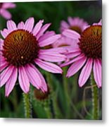 Coneflowers - Echinacea Purpurea Metal Print