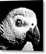 Congo African Grey Head Shot Metal Print