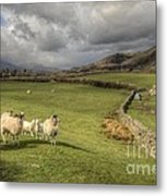 Coniston Sheep  Metal Print