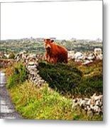 Connemara Cow Metal Print