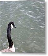 Canadian Goose Contemplating A Swim  Metal Print