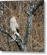 Coopers Hawk 0741 Metal Print