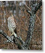 Coopers Hawk 0745 Metal Print
