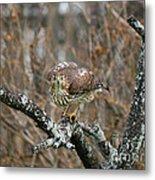 Coopers Hawk 0750 Metal Print