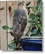 Coopers Hawk 1 Metal Print