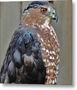Coopers Hawk 3 Metal Print by Helen Carson