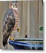 Coopers Hawk 4 Metal Print by Helen Carson