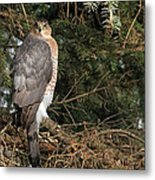 Coopers Hawk In Predator Mode Metal Print