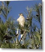 Coopers Hawk In Tree Metal Print