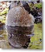 Coopers Hawk Pictures 112 Metal Print