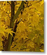 Coral Maple Fall Color Metal Print