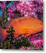 Coral Trout In Similan Islands Metal Print