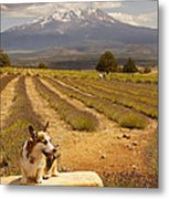 Corgi And Mt Shasta Metal Print