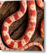 Corn Snake P. Guttatus On Tree Bark Metal Print