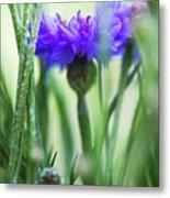 Cornflower (centaurea Cyanus) Metal Print