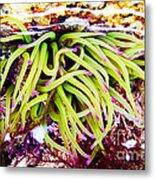 Cornish Rock Pool Snakelocks Anemone Metal Print