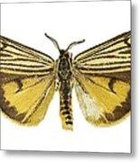Coscinia Striata Moth Metal Print