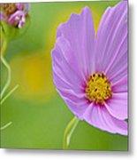 Cosmos Flower In Full Bloom And Bud Metal Print