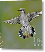 Costas Hummingbird Metal Print